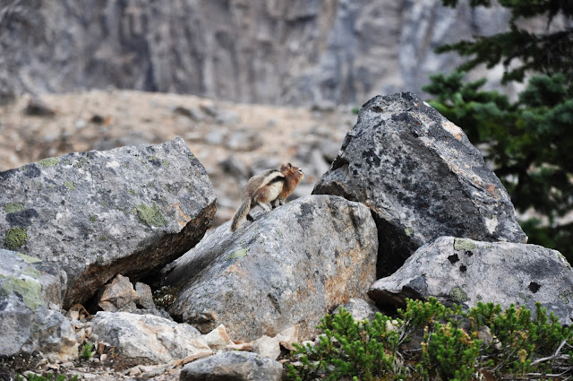 Chipmunk at Edith Cavell, Jasper National Park, Alberta, Canada