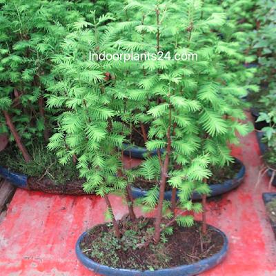 Radermachera sinica ( Bignoniaceae Emerald tree) image
