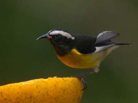 طيور نــادرة رائــــــعة Bananaquit-Mark-Van-