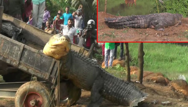 Wildlife Finds the Largest Crocodile in Sri Lanka