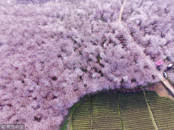 Hòn đảo hoa anh đào 'đẹp rụng rời' ở Trung Quốc - Ảnh 6