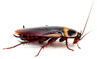 Cockroaches_repeller