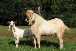 Cara Membuat Ransum Pakan Ternak Kambing dan Domba Sesuai Kebutuhan Proteinnya