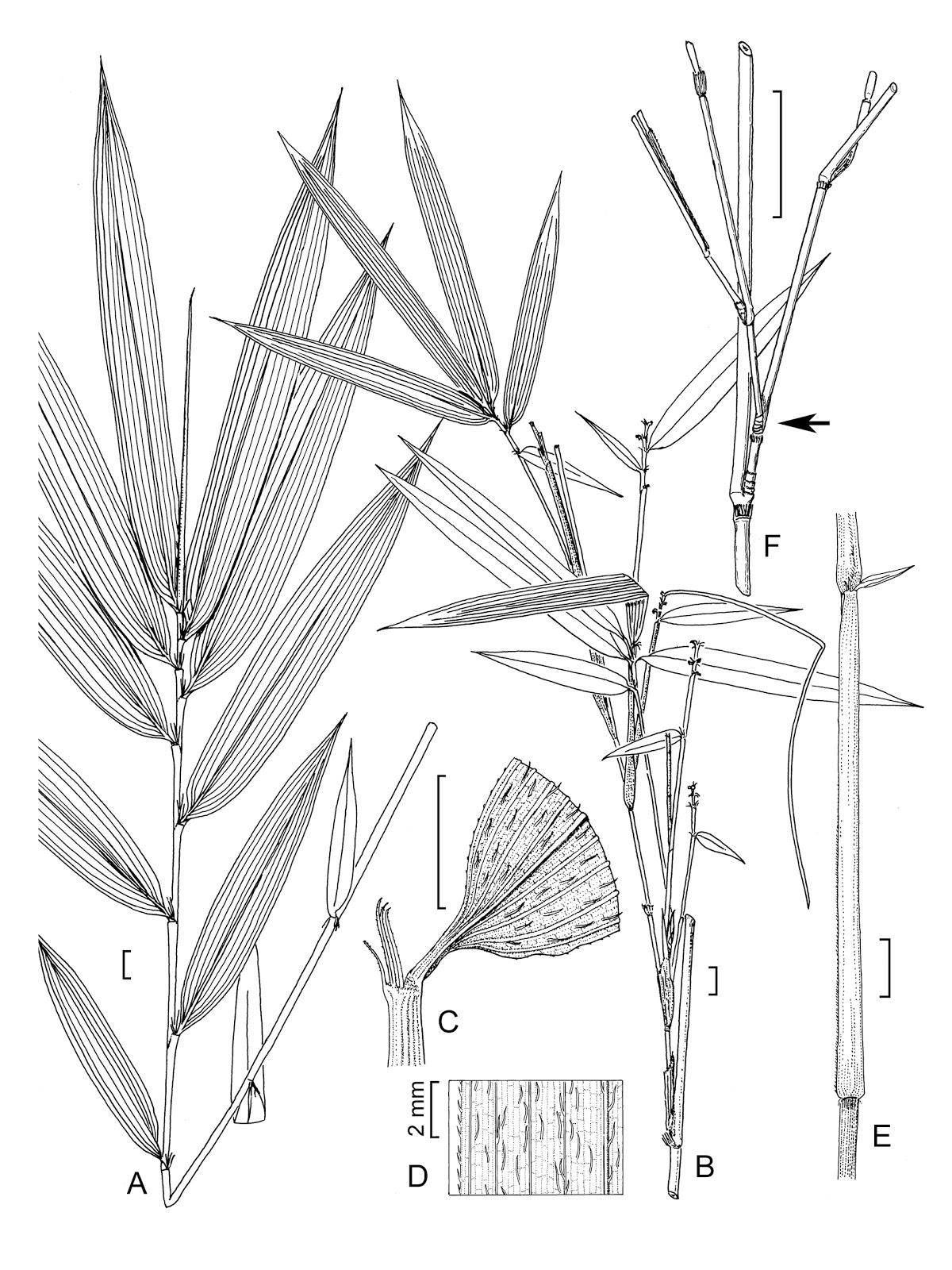 Bamboo Grove Photo Bamboo Drawings