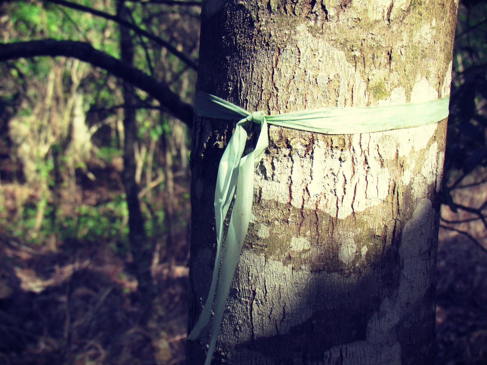 Trees Protected By Blue Ribbons in Florida at Hammock Park