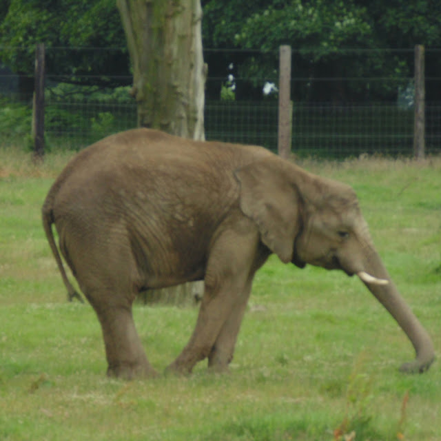 Knowsley safari park, elephant