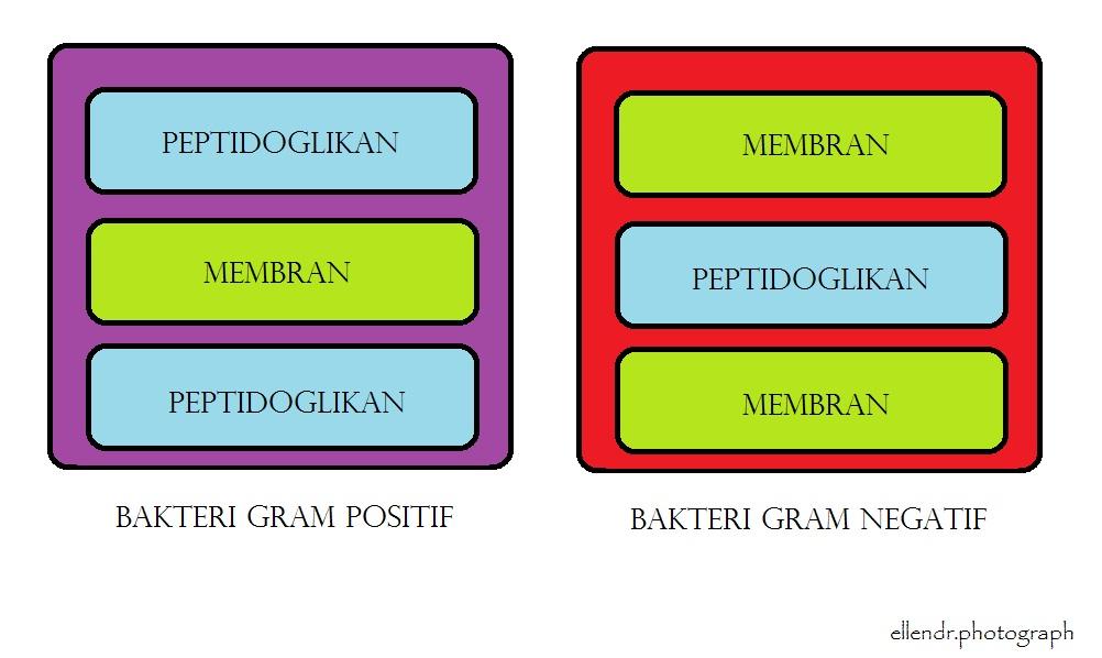 Gram Positif Perbedaan Bakteri Gram Positif Dan Bakteri Gram Negatif