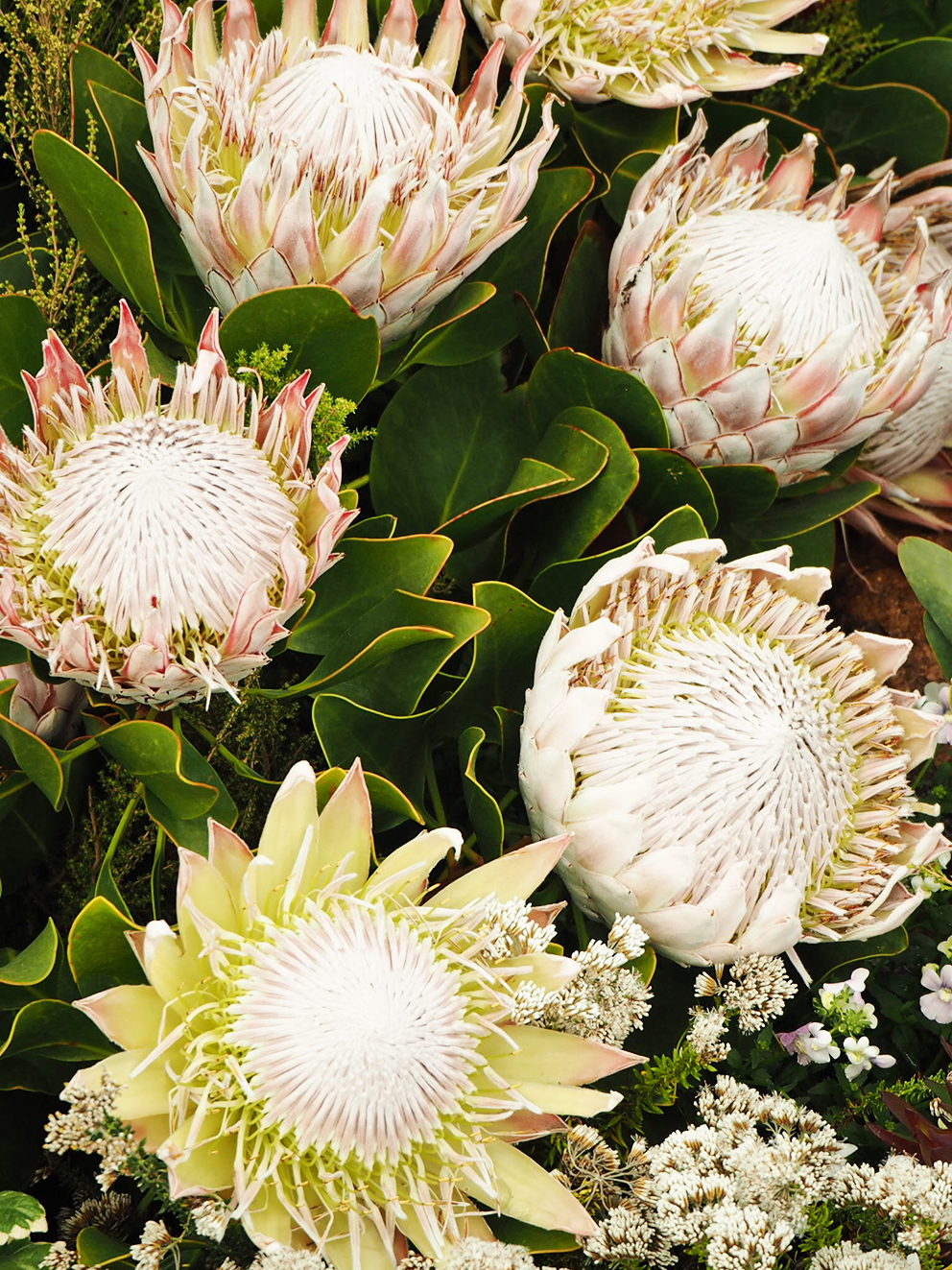 French For Pineapple Blog - RHS Chelsea Flower Show 2017 - White Proteas