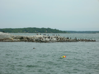 Casco Bay seals