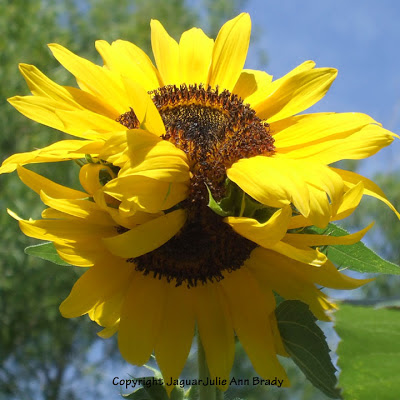 A Two-Headed Warm Yellow Sunflower Blossom