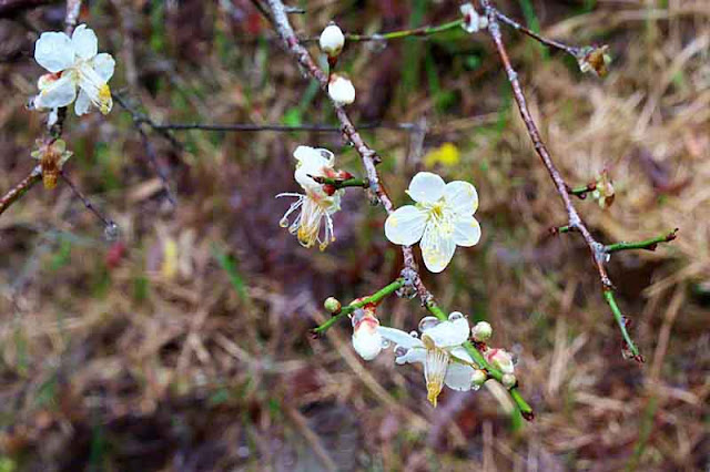 Plum blossoms on a winter day