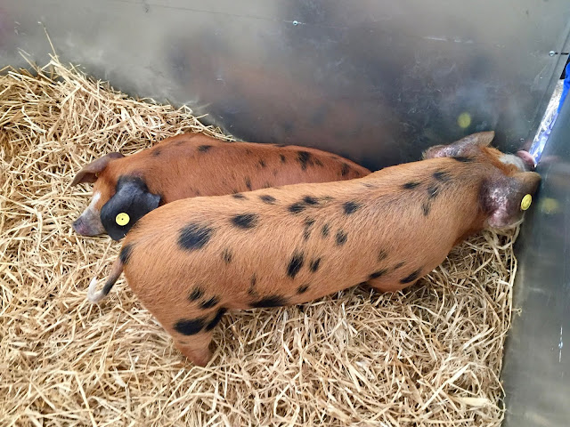 Rare breed pigs at the Royal Highland Show, Edinburgh, Scotland