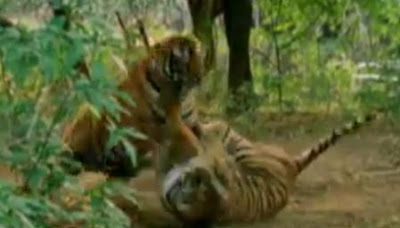 Silat harimau - tiger fight