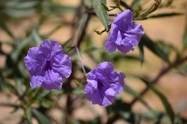 ruellia brittoniana, small sunny garden, garden bloggers bloom day, amy myers, desert garden