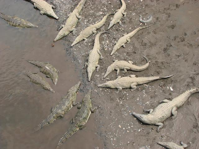 Crocodile Bridge in Tarcoles