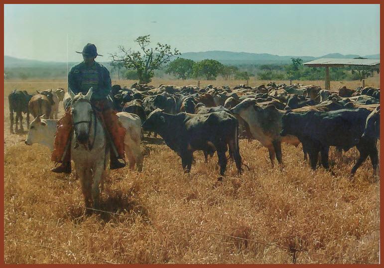 46fc13f5dce Minas Gerais é uma potência pecuária. Está no primeiro lugar no ranking  nacional em número de vacas ordenhadas