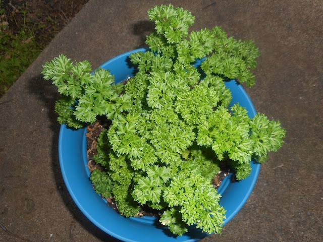 My Curly Parsley Plant