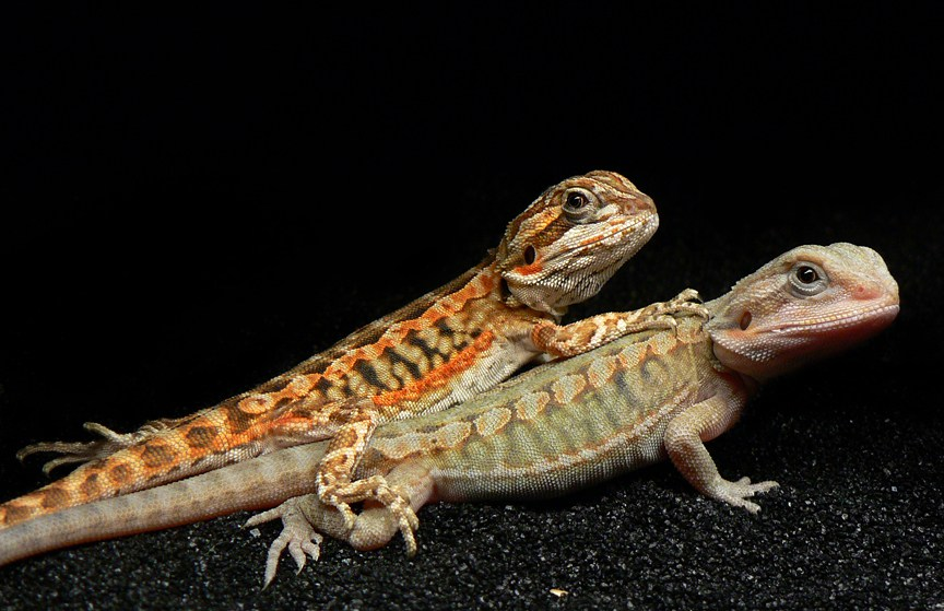 leatherback bearded dragon - Bearded Dragon Animals Town