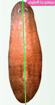 ارسم التناظر الجانبي في البلاناريا ووضح فائدة هذا التناظر لتكيف البلاناريا