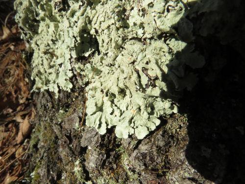 parmelia lichen