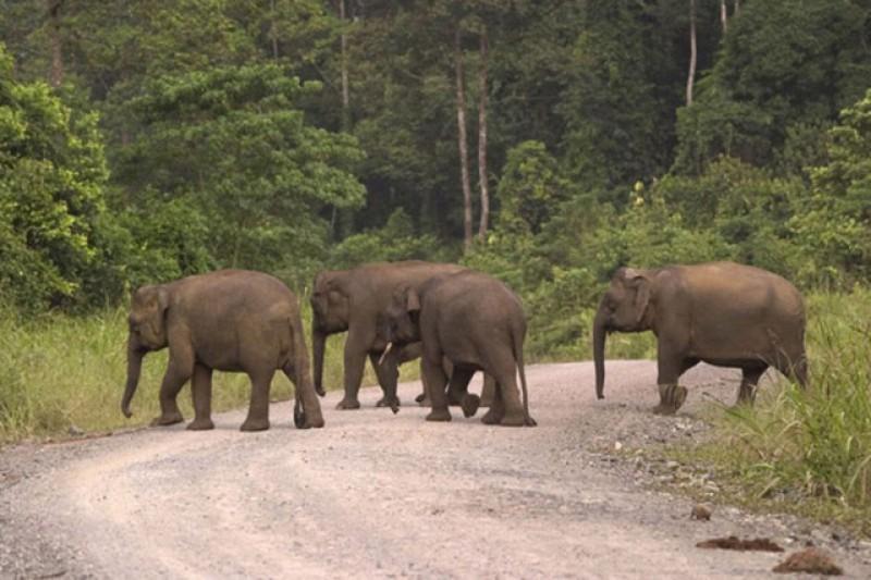 Teror 12 Gajah Liar Masih Terjadi di Suoh