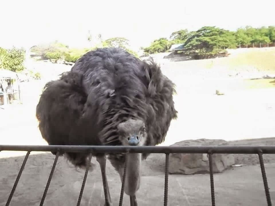 this ostrich at Baluarte Zoo