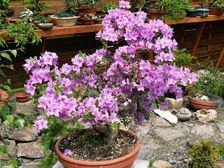Bonsai, Azalea, Blossoms