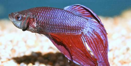 Ciri Ikan Cupang Yang Stres Dan Cara Mengatasinya