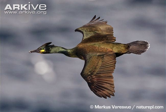 Cormorán moñudo: Phalacrocorax aristotelis