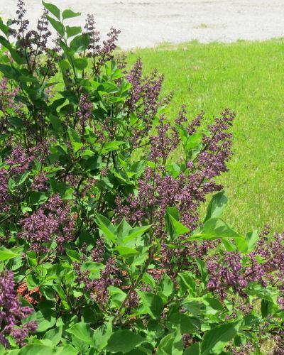 dark purple lilac buds
