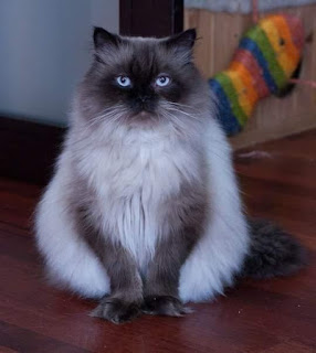 Himalayan Cat Pet Singapore