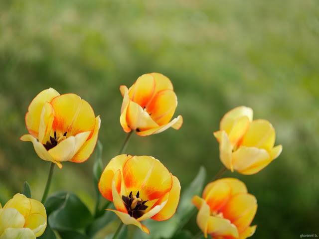 Tulipani gialli. Foto con Panasonic Leica Nocticron 42.5mm f/1.2