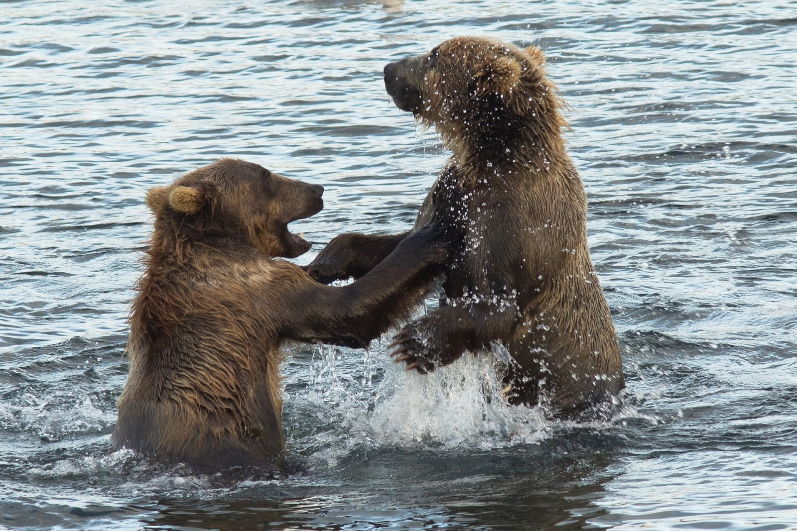 Picture of two young brown Kodiak bears playing.