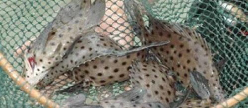 Teknik Pendederan Ikan Kerapu Agar Berhasil