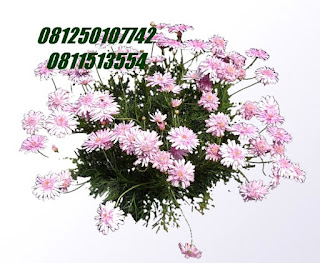 Agyranthemum | jasa tukang taman surabaya
