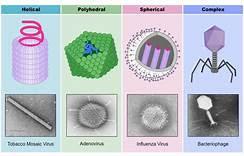 Struktur Dan Macam Macam Bentuk Virus