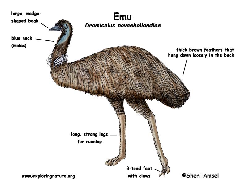 Emu Meat Diagram Residential Electrical Symbols