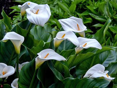 Kaiu (Zantedeschia) flowers: Kaizoji