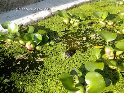 Tortuga entre lentejas de agua