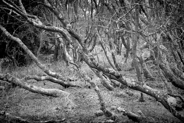 Black and white photo of twisted tree trunks in Studland Nature Reserve