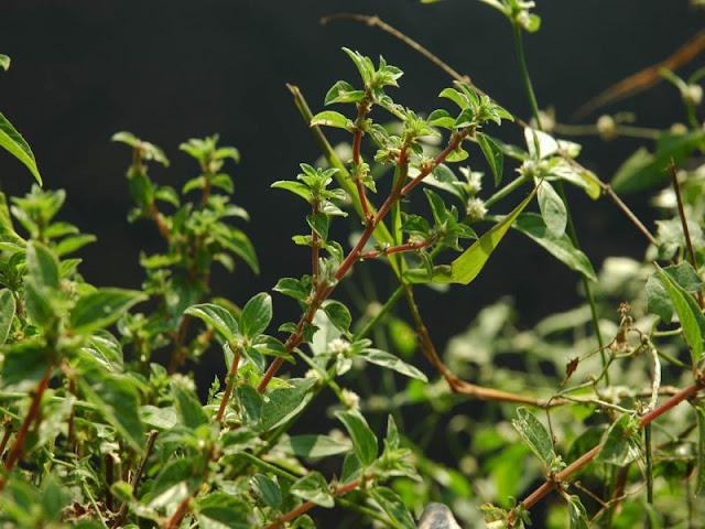 Hình ảnh CÂY BỌ MẮM - Pouzolzia zeylanica - Nguyên liệu làm thuốc Chữa Ho Hen