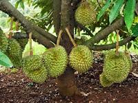 Cara Merawat Pohon Durian agar Cepat Berbuah