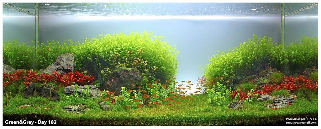 Trân châu cao 3 lá phát triển mạnh mẽ trong hồ thủy sinh này
