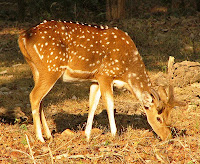 Axis Deer at Pench National Park Nagpur Maharashtra