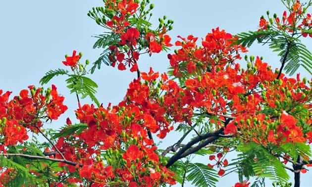 Wallpaper Krishnachura Gulmohar Natural Beauty of