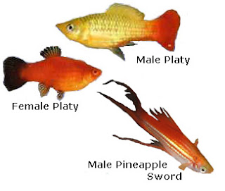 Male and female Platy, pineapple sword