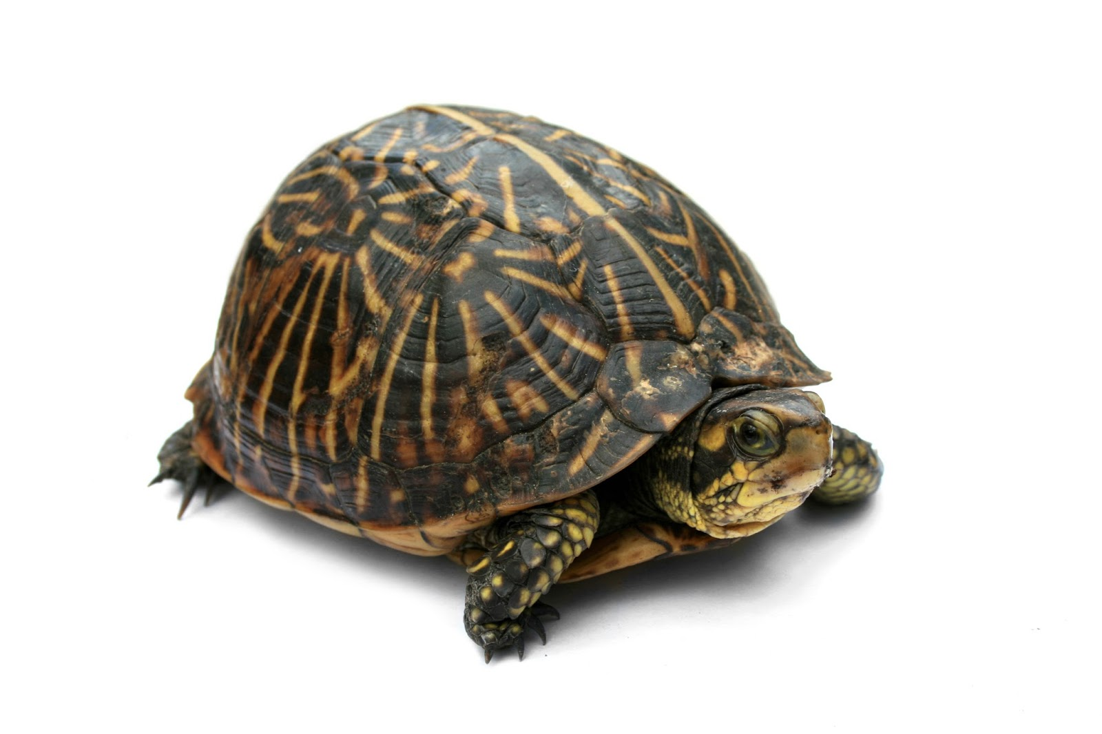 Reptiles: Florida Box Turtle Digon