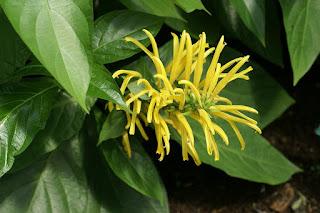 Justicia aurea - Justicia à fleurs jaunes