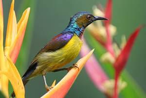 kolibri kelapa