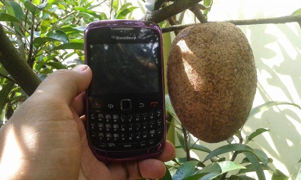 https://tipspetani.blogspot.com/2019/01/teknik-panduan-budidaya-sawo-berhasil.html